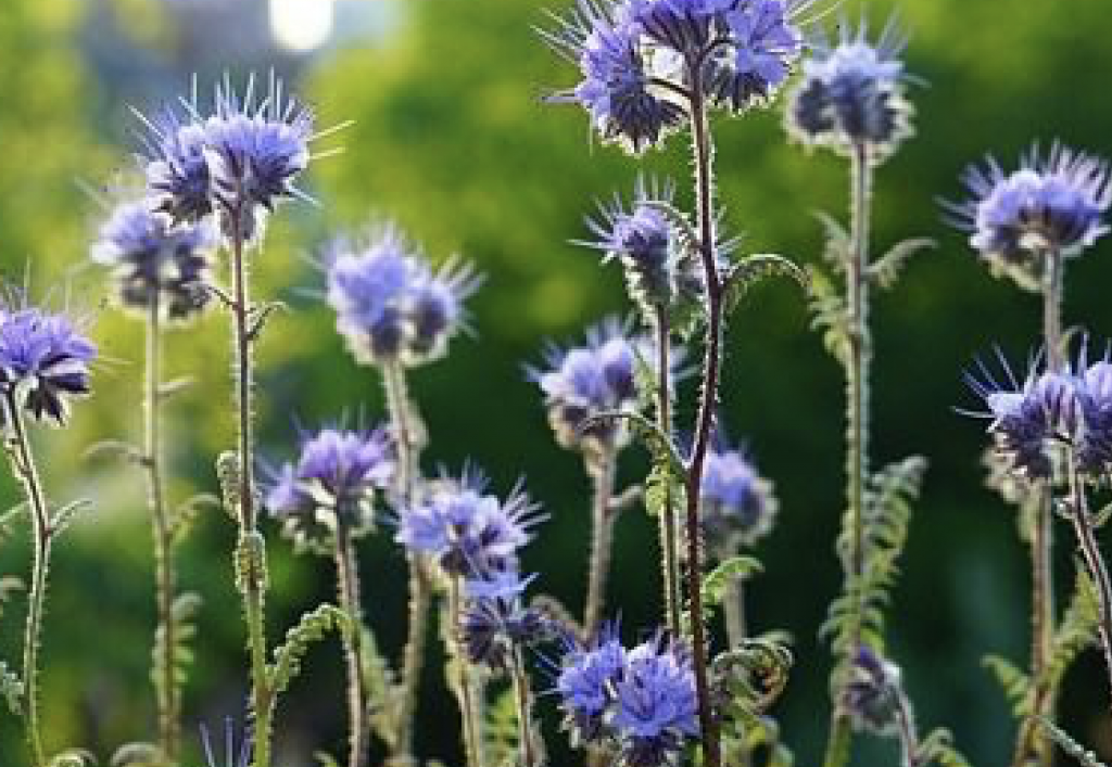 """""""Honey, it's Blue!"""" ~ Yes, herbal medicine knows!"""