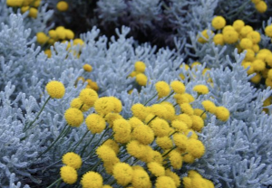 Herbal medicine ~ blue tansy