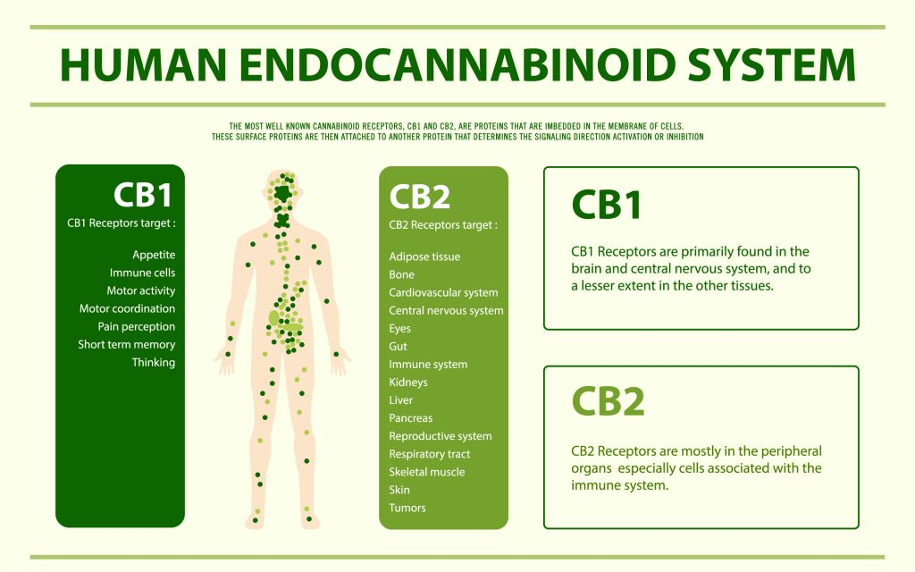 So I have an Endocannabinoid System?